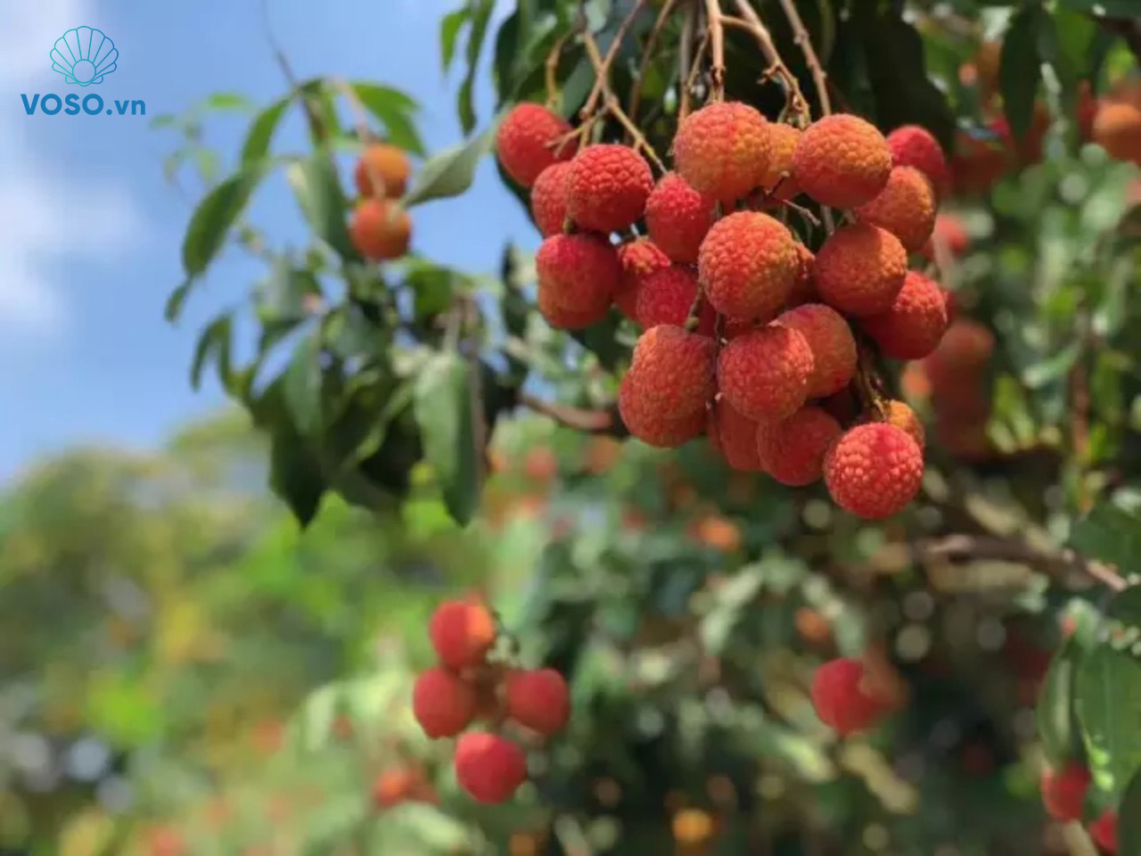 Bac Giang province's lychee sold online amidst Covid-19