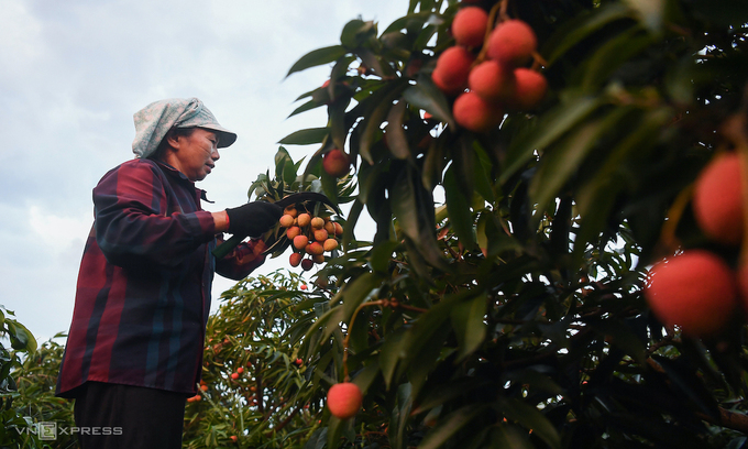 A farmer harvests lychees in Luc Ngan District, Bac Giang Province. Photo by VnExpress/Giang Huy.