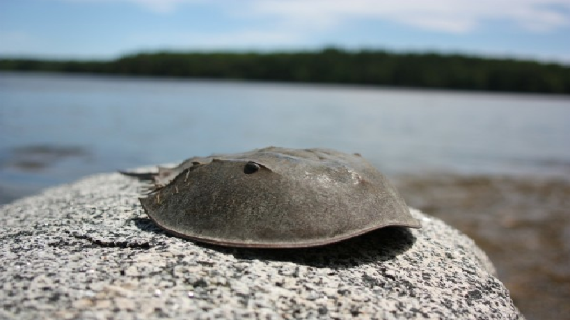 horseshoe crab blood utilised for covid 19 vaccine conservationists worry