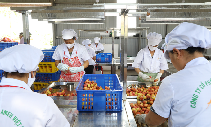 Workers prepare lychees for exports in the northern province of Bac Giang. Photo by VnExpress