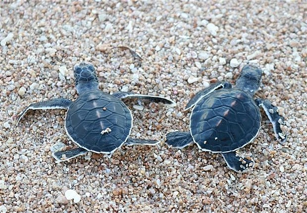 Baby turtles are released at Nui Chua National Park in the central province of Ninh Thuan. (Photo: VNA)