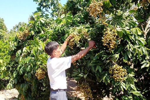 vietnamese longans are expected to penetrate into demanding markets