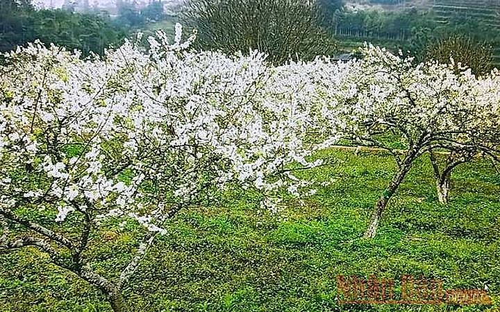 Plum blossoms season in Bac Ha white plateau