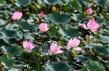 Lotus season in full swing in Saigon's town