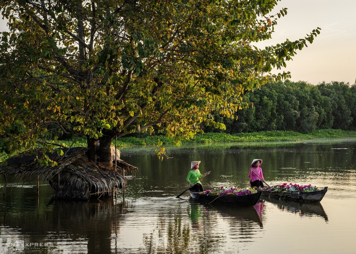Water lilies in Vietnam's Southwest pose a tranquil painting of nature