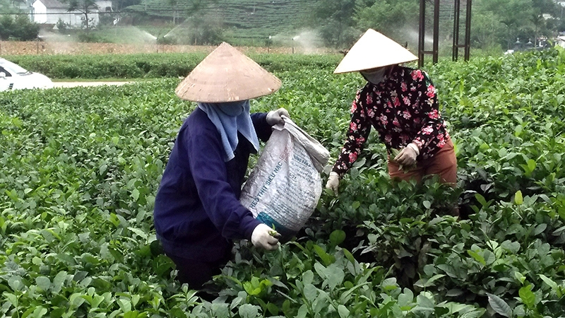 Vietnamese tea heads to sustainable and safe models