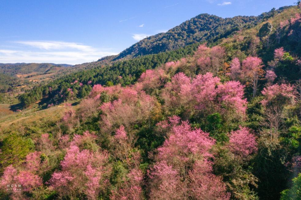 5 stunning routes to admire da lat's cherry blosoom