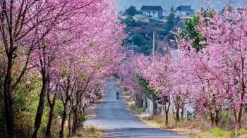 5 stunning routes to admire da lats cherry blosoom
