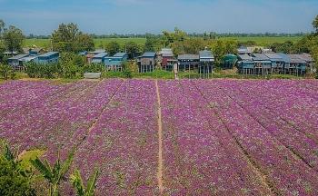 Blooming full of Periwinkle flowers in Mekong Delta