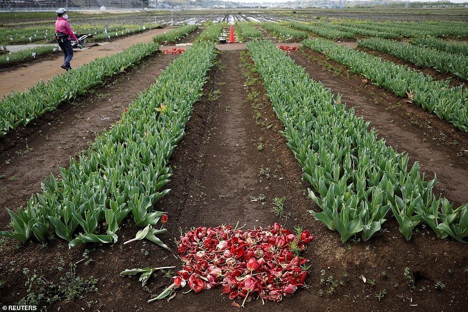 japan covid 19 pandemic looks painfuf even thousands of flowers cut off for gather discouraging