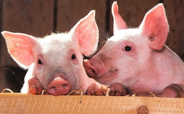 VN imported 20,000 pigs from Thailand for swine fever-hit herd rebuilding and record piglet price reduce