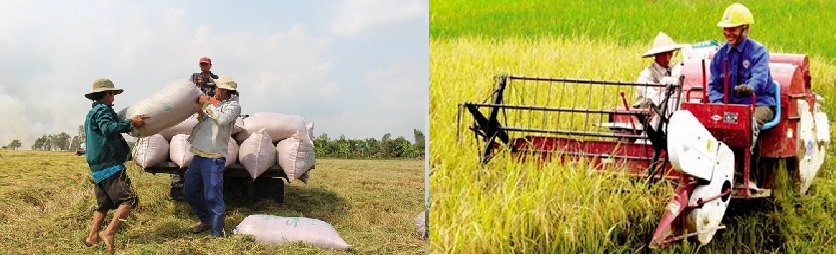 vietnam wins the deal of 60000 ton of rice supply to the philippines