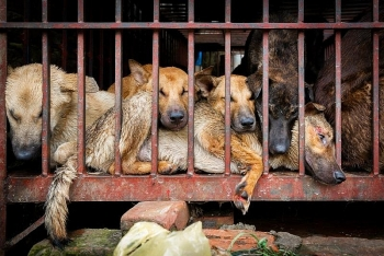 dog meat festival takes place in china despite new regulation that protects dogs