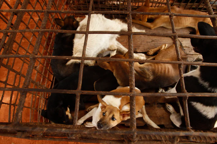 dog slaughterhouse in cambodia for vietnamese import culinary preference shut down