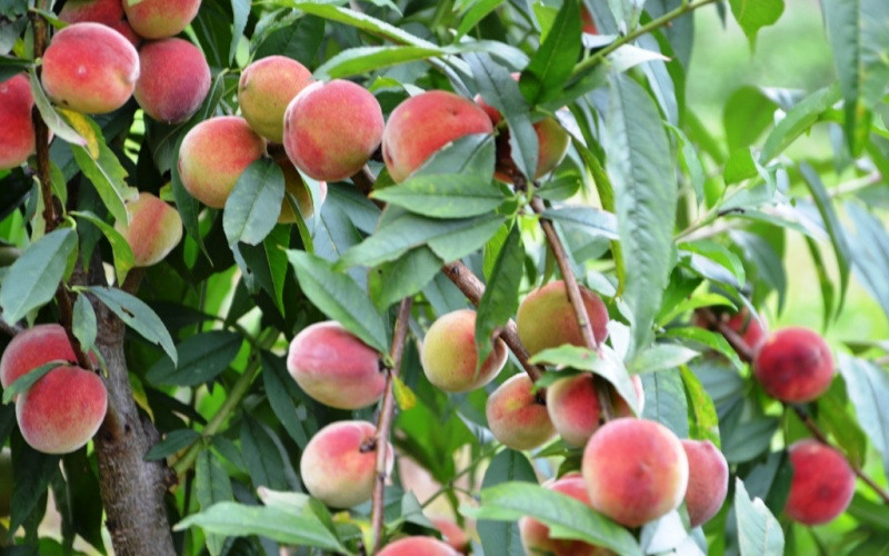 Early ripening peach season on Bac Ha plateau