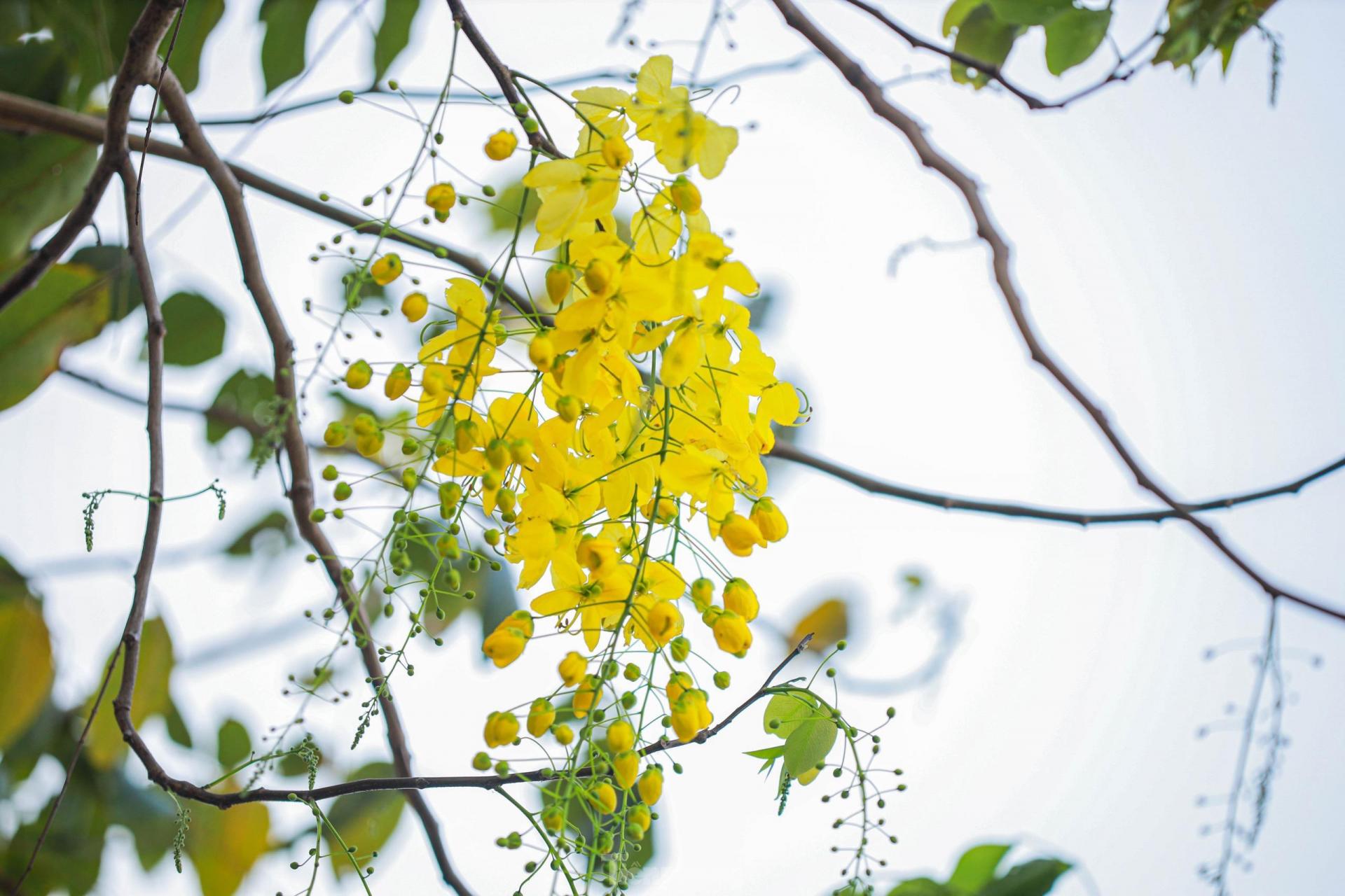 In photo: Golden shower tree around West Lake
