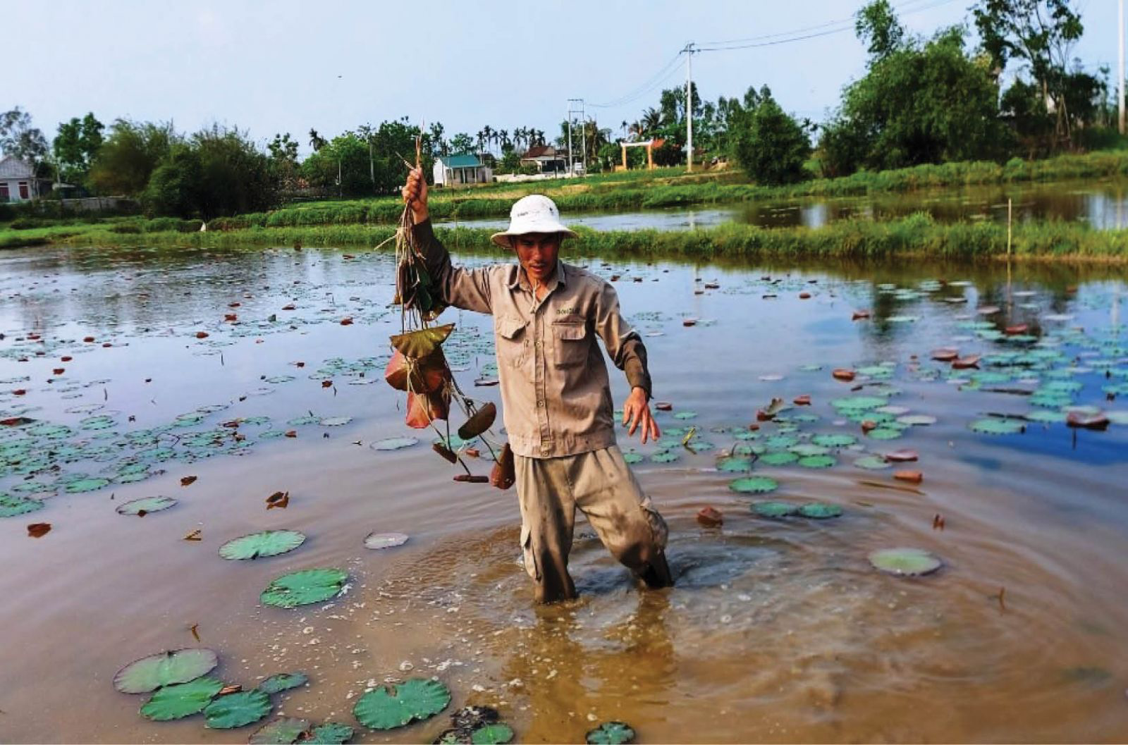 Sustainable lotus cultivation increases in Thua Thien Hue