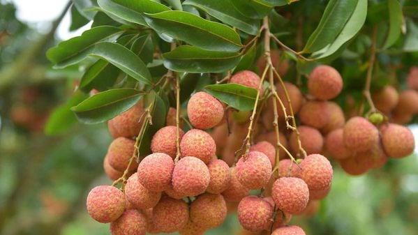 Fresh Vietnamese lychees' prospects in Australia