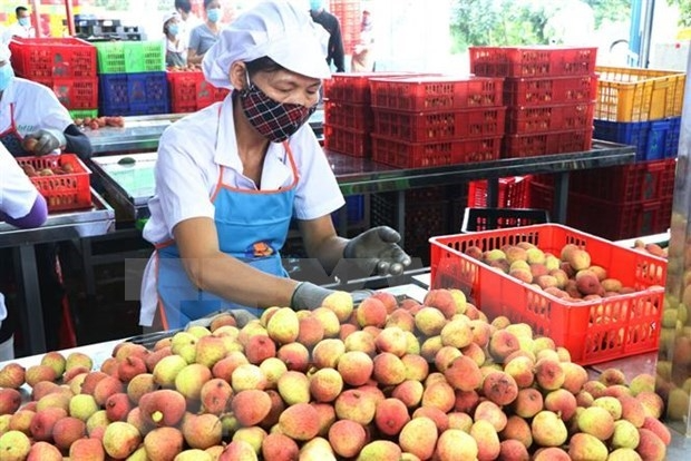 Preliminary processing facility of lychees for export of Ameii Vietnam JSC in Thanh Xa commune, Thanh Ha district, Hai Duong province. Photo:VNA