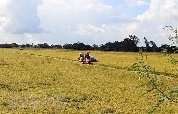 Harvesting rice. Photo: VNA