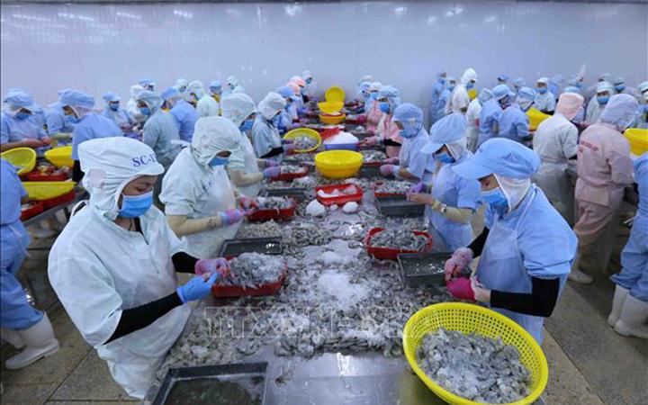 Processing shrimp for export to the EU market. Photo: VNA