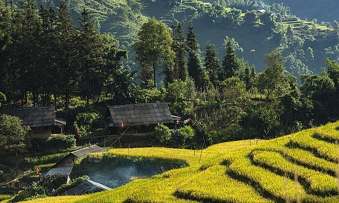 Stilt houses lie amid yellow rice terraces during the harvest season in Sa Pa in Vietnam's northern highlands, August 2021. Photo: VnExpress