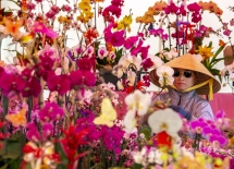 orchids promise good fortune at the flower festival in little saigon
