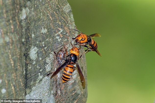 what are murder hornets
