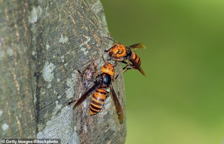 What are 'murder hornets'?