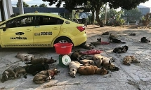 vietnams dog meat two arrested for transporting 22 stolen dogs by taxi