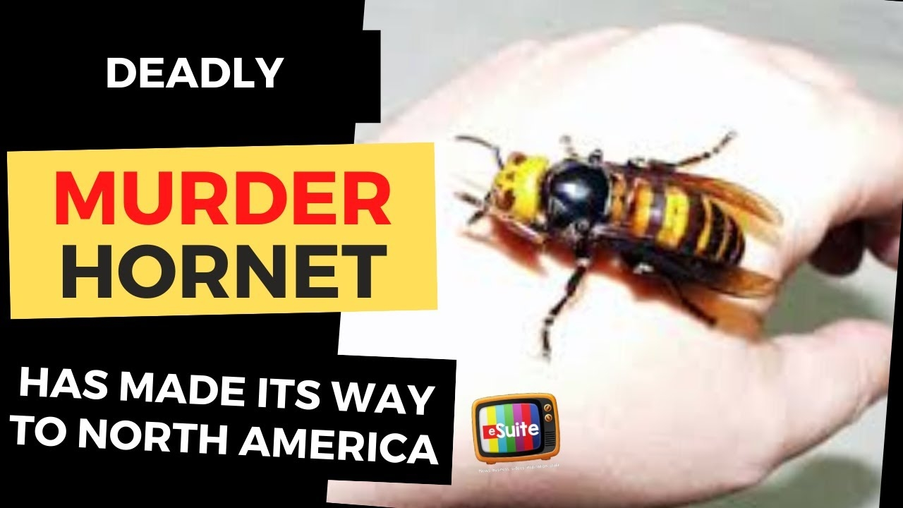 murder hornets danger to the average person is low