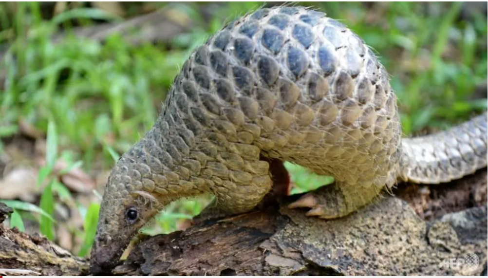 pangolin officially removed from chinese traditional medicine list