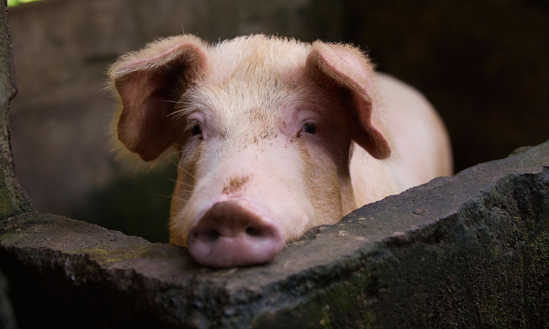 china new swine flu with pandemic potential identified by researchers