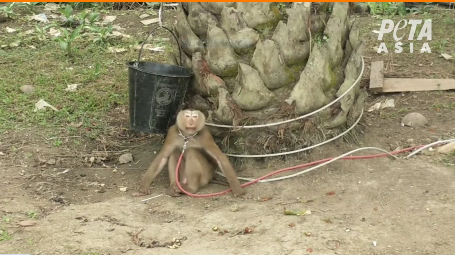 western retailers boycott thai coconuts over inhumane monkey labour