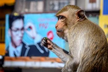 western retailers boycott thai coconuts over inhumane monkey labour