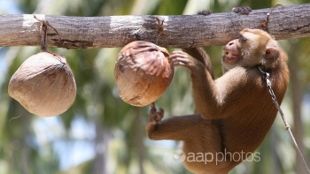 thailand denies monkeys abused to harvest coconut products