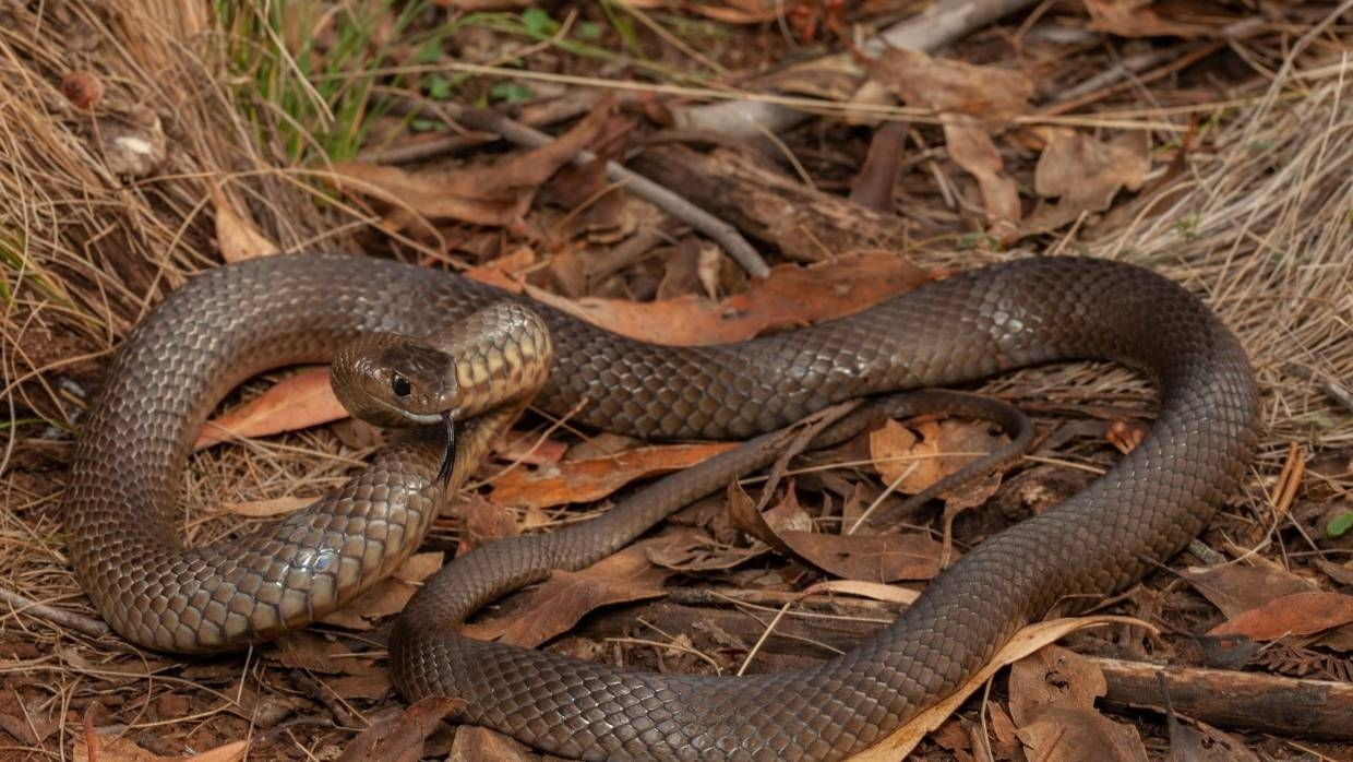 Australian man fights off one of the world's deadliest snakes while driving on highway