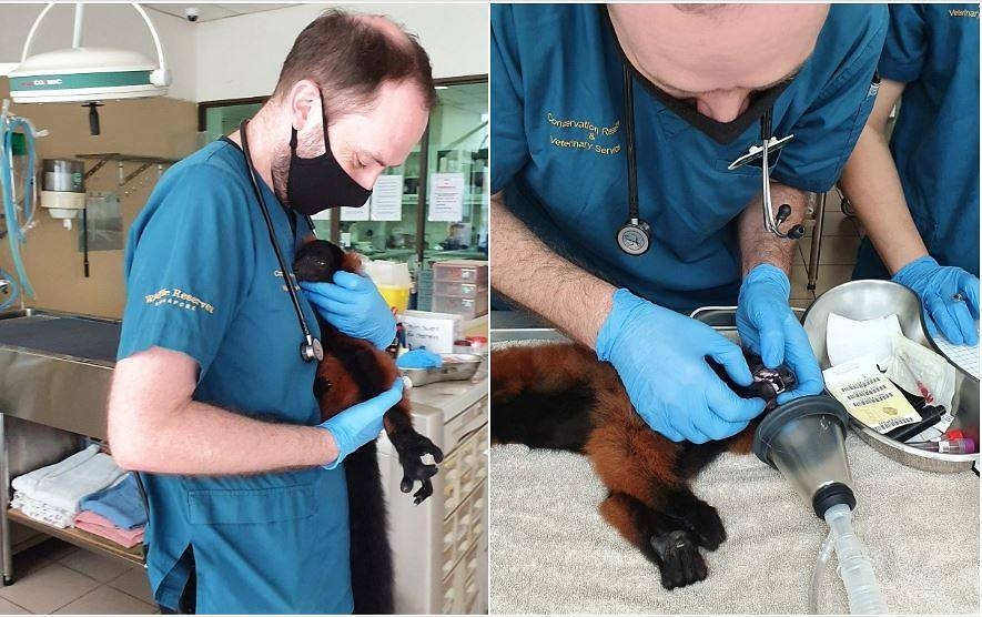 rare twin red ruffed lemurs born at singapore zoo during coronavirus outbreak