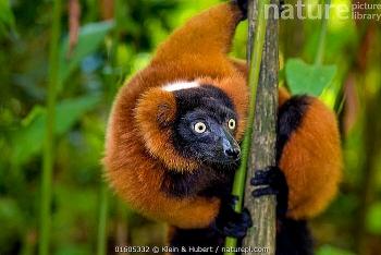 rare twin red ruffed lemurs born at singapore zoo during coronavirus outbreak