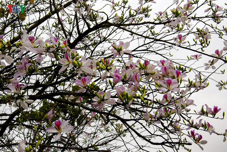 Ban flower - the hidden charm of northwest region