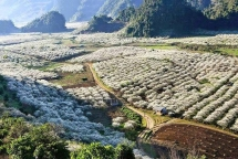 moc chau plateau in white plum blossom season