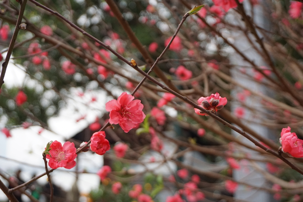 Peach blossoms, the color of Vietnamese Tet
