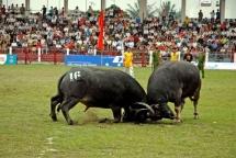 tuyen quang vies for buffalo fighting permit