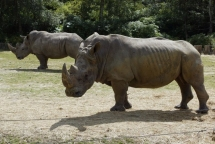 white rhino killed by poachers at french zoo