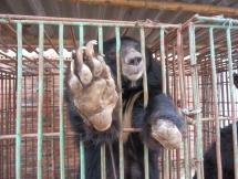 thirty eight bears handed over to tam dao bear rescue centre