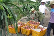 australia enhances market access for vietnamese dragon fruit