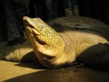 new individual of worlds rarest turtle found in hanoi