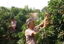 thanh ha litchi be qualified to prevail the strictest market in the world