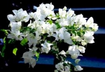 con dao island flowers in full bloom