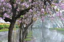 beautiful orchid tree blossoms prettify hanoi streets